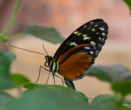 Butterfly with with sucker rolled up. Tiger passion flower butterfly with rolled up sucker ist landing on a leaf Stock Photo