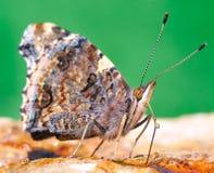 Butterfly sucking. Stock Photos