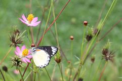 A butterfly sucking flower pollen. A butterfly sucking pink and yellow flower pollens in the wild royalty free stock photo