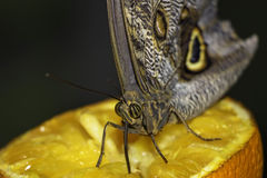 Butterfly sucking juice from an orange. Butterfly dug her its proboscis and sucks the juice from an orange Royalty Free Stock Photography
