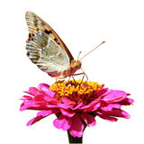 Butterfly sucking nectar. On flower zinnia isolated on a white background royalty free stock images