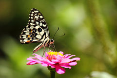 Butterfly is sucking nectar Stock Images