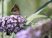 Butterfly sucking the nectar of the flowers of a Buddleia Buddleja alternifolia. One butterfly sucking the nectar of the flowers of a Buddleia Buddleja royalty free stock photos