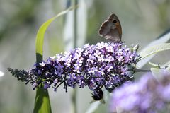 Butterfly sucking the nectar of the flowers of a Buddleia Buddleja alternifolia. One butterfly sucking the nectar of the flowers of a Buddleia Buddleja royalty free stock photography