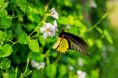 Butterfly sucking nectar from flowers Royalty Free Stock Photos