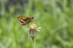 Butterfly Sucking. Nectar from flowers, grass pollen royalty free stock photo