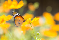 Butterfly sucking nectar from flowers Royalty Free Stock Image