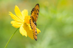Butterfly sucking nectar from flowers Stock Images