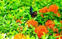 Butterfly sucking nectar Stock Photos