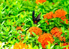 Butterfly sucking nectar Stock Image