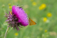 Butterfly sucking nectar out of big thistle flower. Skipper Hesperiidae butterfly sucking nectar out of big thistle flower stock photos