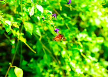 Butterfly sucking nectar Stock Images