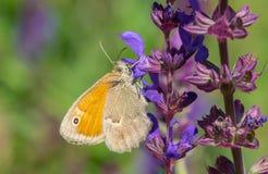 Butterfly sucking nectar on a wild sage flower. Meadow brown Maniola jurtina butterfly sucking nectar on a wild sage flower royalty free stock photos