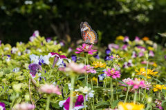 Butterfly sucking nectar from zinnia flowers. Stock Photography