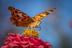 Butterfly. A butterfly in a summer day eating from a flower stock images