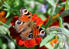 Butterfly in summer Royalty Free Stock Image