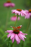 Butterfly on the summer flower Stock Photography