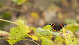 Butterfly in the summer garden and leaf Stock Photography