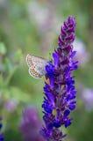Butterfly on a summer meadow flower. Little butterfly on a summer meadow flower Royalty Free Stock Image