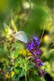 Butterfly on a summer meadow flower. Little butterfly on a summer meadow flower Stock Photos