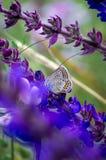 Butterfly on a summer meadow flower. Little butterfly on a summer meadow flower Royalty Free Stock Photos