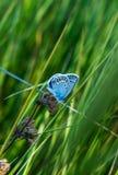 Butterfly on a summer meadow flower. Little butterfly on a summer meadow flower Royalty Free Stock Photo