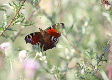 Butterfly Summer Royalty Free Stock Image