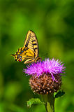 Butterfly. Summertime in Karelia Finland, butterfly Royalty Free Stock Photos