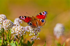 Butterfly. Summertime in Karelia Finland, butterfly royalty free stock images