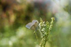 Butterfly sun bathing. A little butterfly (Aricia agrestis) taking a morning sun bath Stock Photo