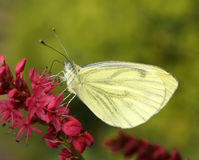 Butterfly in the sun. Butterfly rests on a flower in the sun stock photos