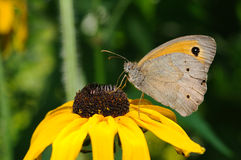 Butterfly on sunflower Stock Images