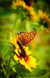 Butterfly on sunflower. Butterfly collecting pollen from large sunflower Stock Photography