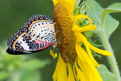 Butterfly on  sunflower Royalty Free Stock Photography