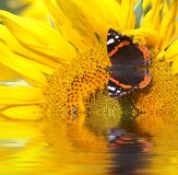 Butterfly and sunflower Stock Image