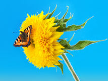Butterfly on a sunflower Royalty Free Stock Photos