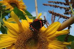 Butterfly on a sunflower. Butterfly sitting on a sunflower on a blue sky Royalty Free Stock Photo