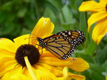 Butterfly on sunflower Royalty Free Stock Image