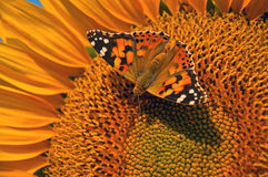 Butterfly on sunflower Royalty Free Stock Photo