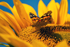 Butterfly on sunflower Stock Photo