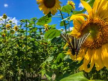Butterfly in a sunflower field on a clear blue sky royalty free stock image
