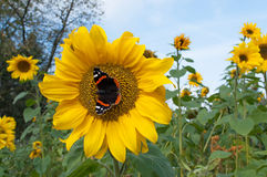 Butterfly on a sunflower Royalty Free Stock Photo