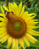 Butterfly on a sunflower stock images