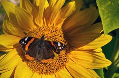Butterfly on a sunflower. Vanessa atalanta. royalty free stock photography