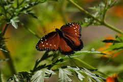 Butterfly sunning Royalty Free Stock Photos