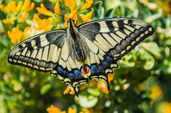Butterfly sunny day Papilio machaon Royalty Free Stock Images