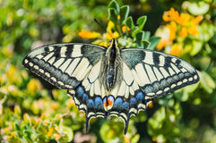 Butterfly sunny day, Papilio machaon Royalty Free Stock Image