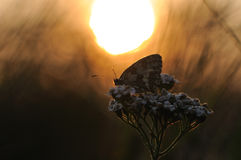 Butterfly in the Sunrise. This butterlfy i can photograph in the early morning on a plant Stock Image