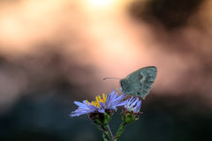 Butterfly Sunset Royalty Free Stock Image
