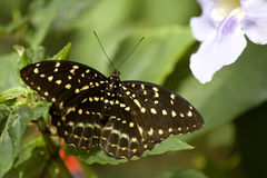 Butterfly Super Macro Royalty Free Stock Photography